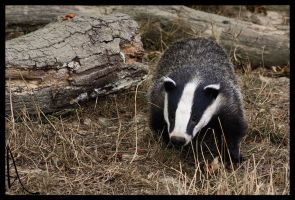Badger by Alannah-Hawker