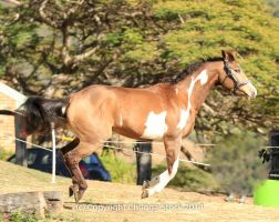 VR Pinto canter side view by Chunga-Stock