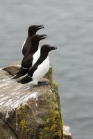Three Razorbills in a Row by Shadow-and-Flame-86