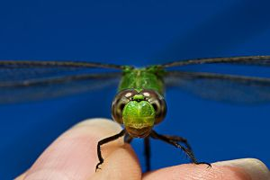 The Green Dragonfly Close-up by lifeinedit
