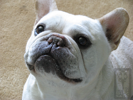 French Bulldog by KiePhotos