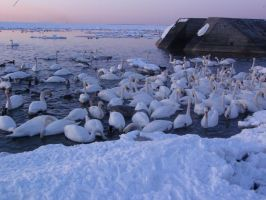 a lot of swans by B-219