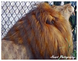 Lion II by CaitrinXlXAnneliese