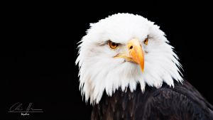 bald eagle portrait #2 by PhotographyChris