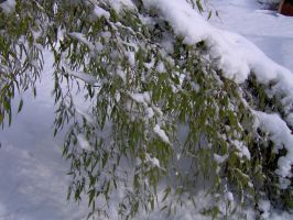 Bamboo in Snow 2 by hydestock