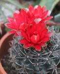 Vivid Red Chin Cactus 1 by Kihaku-Gato