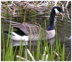 Canadian Goose by CTP