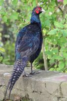 Melanistic Pheasant by RixResources
