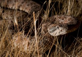 SW. Speckled Rattlesnake by jamezevanz