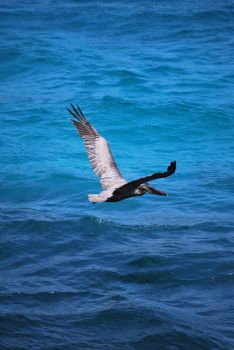 brown pelican 6.8 by meihua-stock