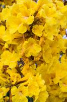 Tabebuia flowers by speedofmyshutter