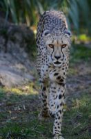 Cheetah stock by nikongriffin