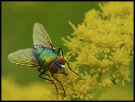 Blow Fly by Pildik