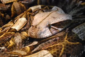 Gaboon Viper by ManitouWolf