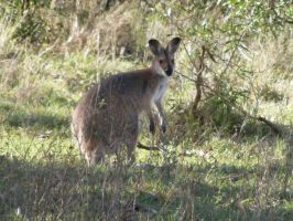 Wallaby 1 by Dontheunsane