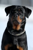 Arina, the Rottweiler by SaNNaS