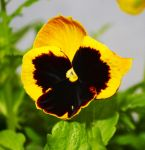 Yello pansy by close101