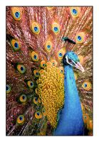 peacock. by Le-Voyageur