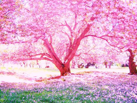 cherry blossoms by loverlyness