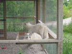 Two White Foxes 2 by Windthin