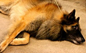 Belgian shepherd by NinjaxWarrior