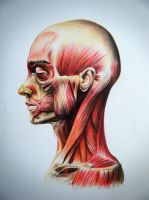 Anatomycal study of the facial muscles by chadk92