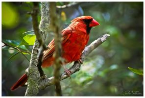 Cardinal by FallesenPhotography