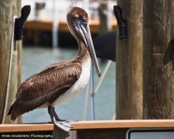 Pelican by RyBH