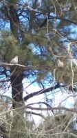 Doves in a Aspin Tree by hillcountrychick