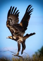 Wedge Tailed Eagle by waspo