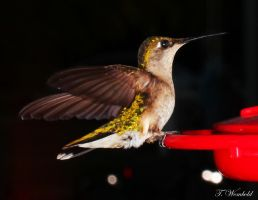 hummingbird at feeder by twombold