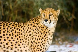 cheetah415 by redbeard31