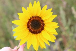 Sunflower Stock 02 by Malleni-Stock