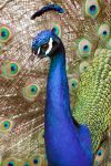 Peacock in display 2 by dkbarto