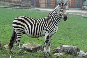 Zebra Stock II 106 by LuDa-Stock