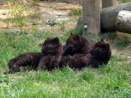 2014 - Black leopard cubs 5 by Lena-Panthera