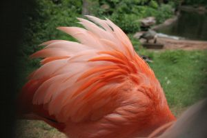 Flamingo Feathers 001 by crumpstock