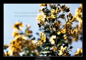 Flowers of Gold by richardxthripp