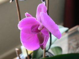purple orchid by kram666