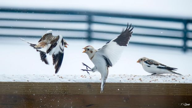 Fighting Snow Buntings 6 by Nini1965