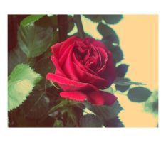 Rose of Felt. by meL-xiNyi