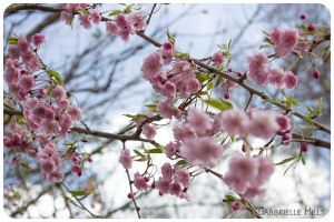 Cherry Blossoms 4 by moofestgirl