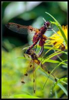 Red Dragonfly Mating by Eccoton