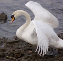 swan spreading wings 3 by LubelleCreativeSpark