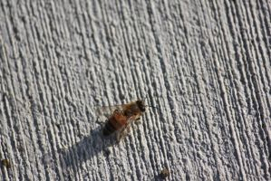 00120 - Bee on Lined Pavement from Above by emstock