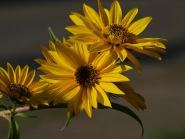Maximilian Sunflowers 16 by botanystock