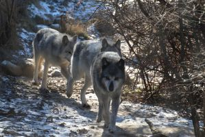 Gray Wolf Stock 22 by HOTNStock