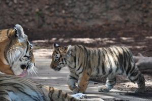 Tiger Cubs 2 by Razgar