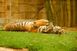 35 Tiger cuddle by Chunga-Stock