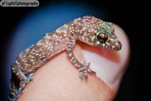 Tiny Gecko by V-Light